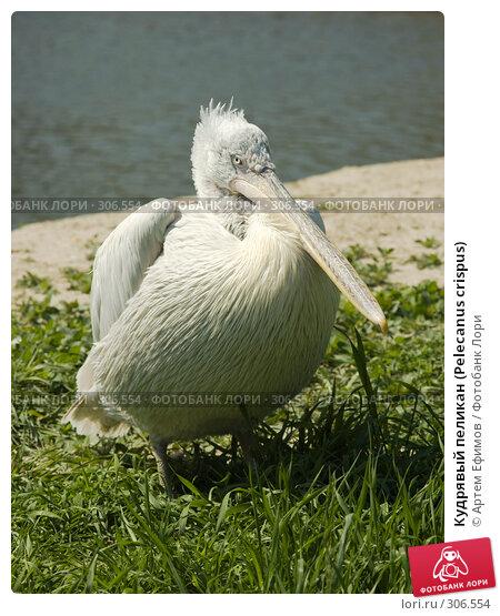 Кудрявый пеликан (Pelecanus crispus), фото № 306554, снято 4 мая 2008 г. (c) Артем Ефимов / Фотобанк Лори