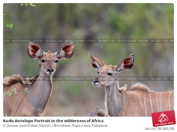 Kudu Antelope Portrait in the wilderness of Africa. Стоковое фото, фотограф Zoonar.com/Ozkan Ozmen / easy Fotostock / Фотобанк Лори