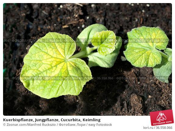 Kuerbispflanze, Jungpflanze, Cucurbita, Keimling. Стоковое фото, фотограф Zoonar.com/Manfred Ruckszio / easy Fotostock / Фотобанк Лори