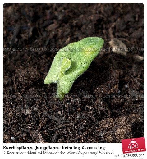 Kuerbispflanze, Jungpflanze, Keimling, Sproessling. Стоковое фото, фотограф Zoonar.com/Manfred Ruckszio / easy Fotostock / Фотобанк Лори