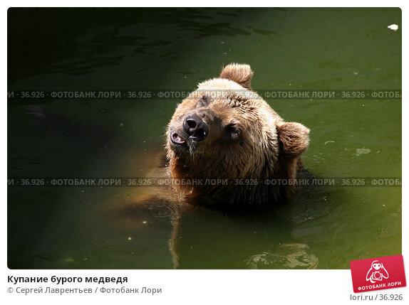 Купание бурого медведя, фото № 36926, снято 1 мая 2017 г. (c) Сергей Лаврентьев / Фотобанк Лори