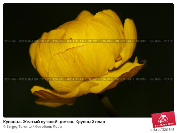 Купавна. Желтый луговой цветок. Крупный план, фото № 326846, снято 1 июня 2008 г. (c) Sergey Toronto / Фотобанк Лори