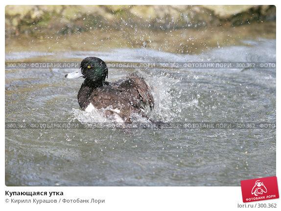 Купающаяся утка, фото № 300362, снято 1 мая 2008 г. (c) Кирилл Курашов / Фотобанк Лори
