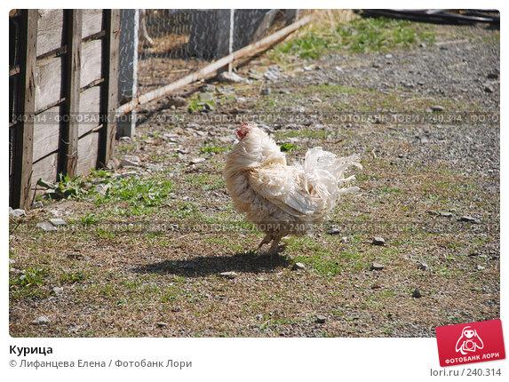 Курица, фото № 240314, снято 27 марта 2008 г. (c) Лифанцева Елена / Фотобанк Лори