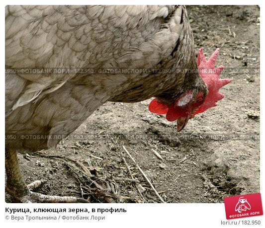 Курица, клюющая зерна, в профиль, фото № 182950, снято 29 апреля 2017 г. (c) Вера Тропынина / Фотобанк Лори