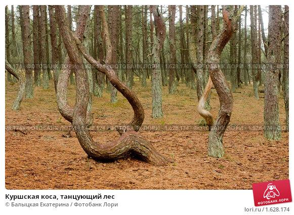 Куршская коса, танцующий лес (2010 год). Редакционное фото, фотограф Балыцкая Екатерина / Фотобанк Лори