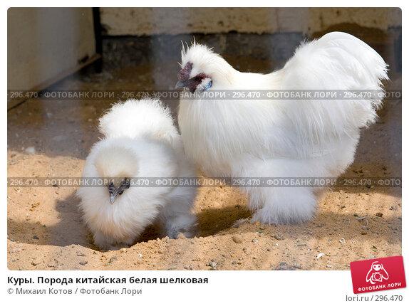 Куры. Порода китайская белая шелковая, фото № 296470, снято 13 мая 2008 г. (c) Михаил Котов / Фотобанк Лори