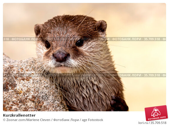 Kurzkrallenotter. Стоковое фото, фотограф Zoonar.com/Marlene Cleven / age Fotostock / Фотобанк Лори