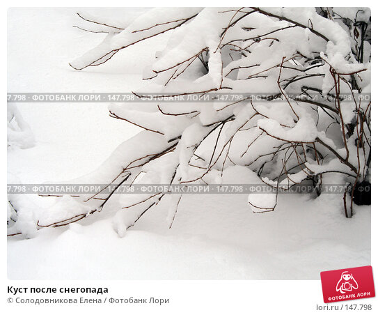 Куст после снегопада, фото № 147798, снято 24 февраля 2006 г. (c) Солодовникова Елена / Фотобанк Лори