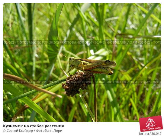 Кузнечик на стебле растения, фото № 30042, снято 23 июля 2006 г. (c) Сергей Ксейдор / Фотобанк Лори