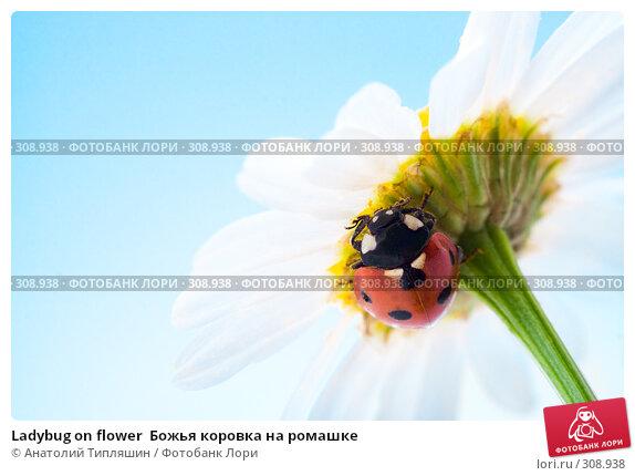 Ladybug on flower  Божья коровка на ромашке, фото № 308938, снято 9 июля 2007 г. (c) Анатолий Типляшин / Фотобанк Лори