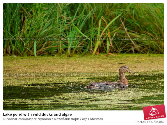 Lake pond with wild ducks and algae. Стоковое фото, фотограф Zoonar.com/Kasper Nymann / age Fotostock / Фотобанк Лори