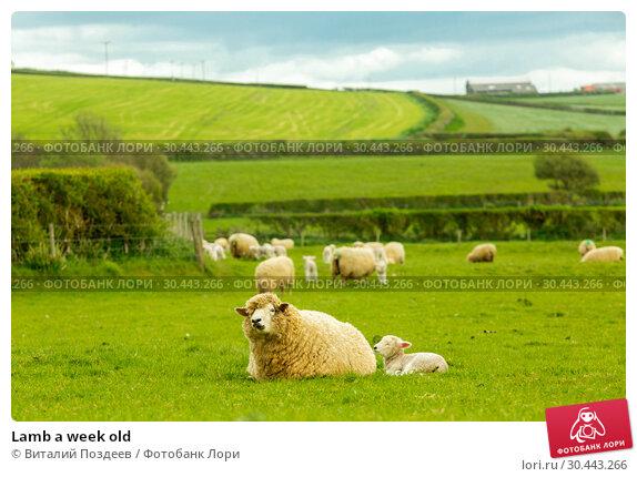 Купить «Lamb a week old», фото № 30443266, снято 17 апреля 2017 г. (c) Виталий Поздеев / Фотобанк Лори