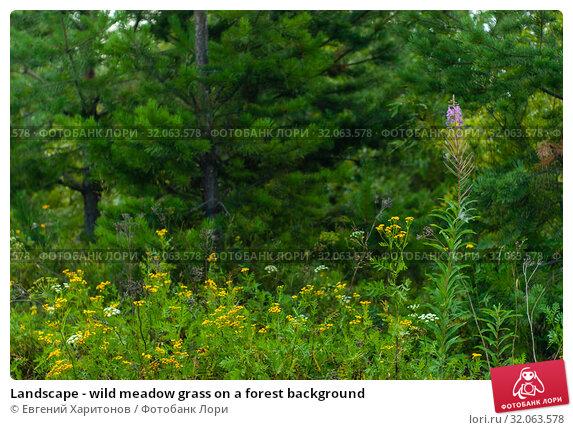 Landscape - wild meadow grass on a forest background. Стоковое фото, фотограф Евгений Харитонов / Фотобанк Лори