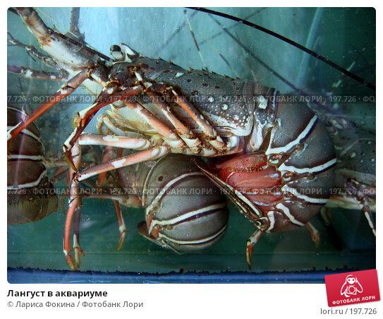 Купить «Лангуст в аквариуме», фото № 197726, снято 4 декабря 2007 г. (c) Лариса Фокина / Фотобанк Лори