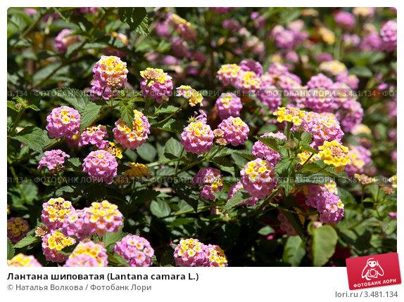 Купить «Лантана шиповатая (Lantana camara L.)», фото № 3481134, снято 15 апреля 2012 г. (c) Наталья Волкова / Фотобанк Лори