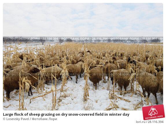 Купить «Large flock of sheep grazing on dry snow-covered field in winter day», фото № 28116394, снято 5 января 2017 г. (c) Losevsky Pavel / Фотобанк Лори