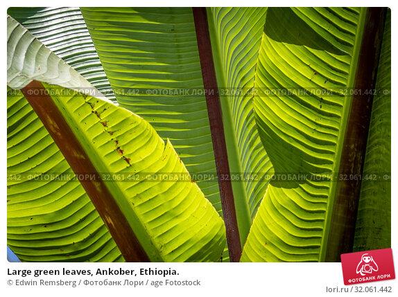 Large green leaves, Ankober, Ethiopia. Стоковое фото, фотограф Edwin Remsberg / age Fotostock / Фотобанк Лори