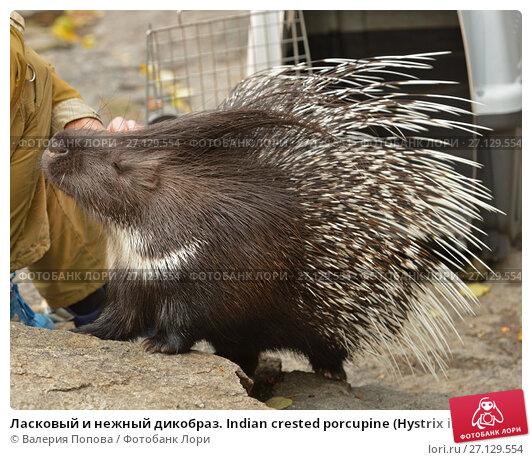 Купить «Ласковый и нежный дикобраз. Indian crested porcupine (Hystrix indica), or Indian porcupine», фото № 27129554, снято 17 октября 2017 г. (c) Валерия Попова / Фотобанк Лори