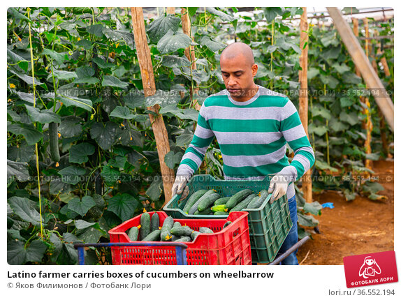 Latino farmer carries boxes of cucumbers on wheelbarrow. Стоковое фото, фотограф Яков Филимонов / Фотобанк Лори