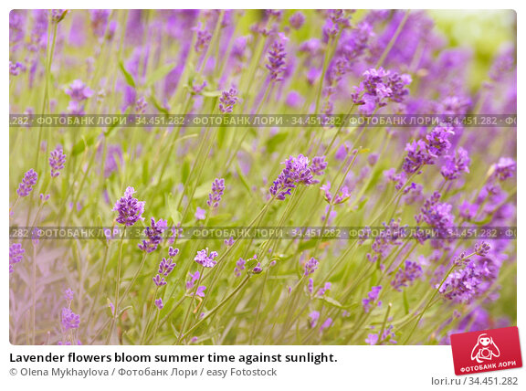 Lavender flowers bloom summer time against sunlight. Стоковое фото, фотограф Olena Mykhaylova / easy Fotostock / Фотобанк Лори