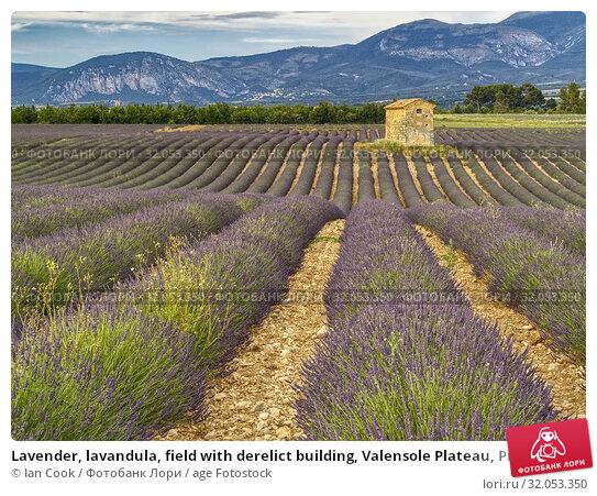 Lavender, lavandula, field with derelict building, Valensole Plateau, Provence, France. Стоковое фото, фотограф Ian Cook / age Fotostock / Фотобанк Лори