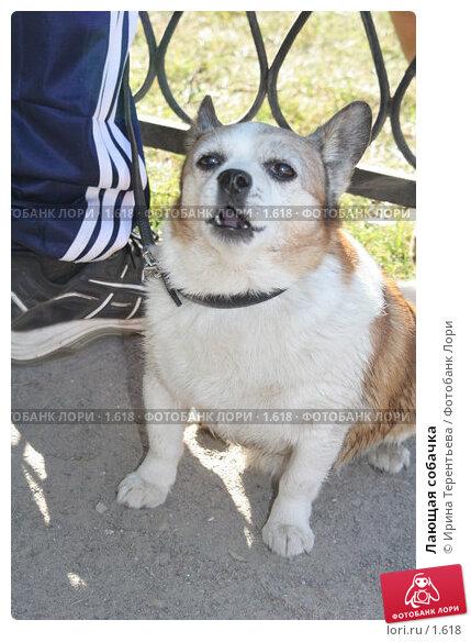 Купить «Лающая собачка», эксклюзивное фото № 1618, снято 10 сентября 2005 г. (c) Ирина Терентьева / Фотобанк Лори
