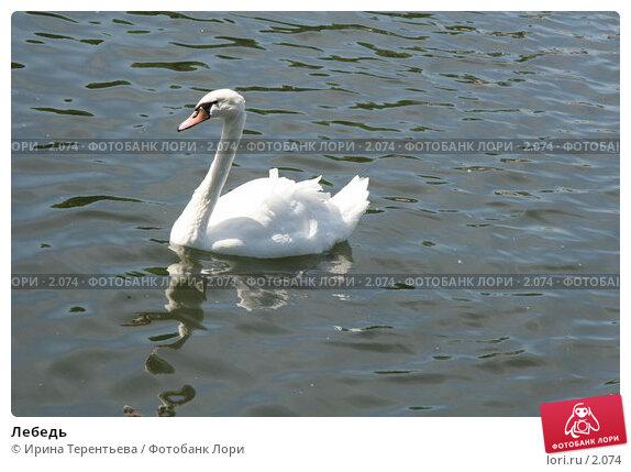 Лебедь, эксклюзивное фото № 2074, снято 16 июня 2005 г. (c) Ирина Терентьева / Фотобанк Лори