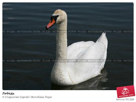 Лебедь, фото № 91526, снято 31 мая 2007 г. (c) Старостин Сергей / Фотобанк Лори