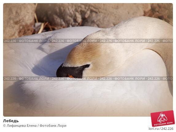 Лебедь, фото № 242226, снято 27 марта 2008 г. (c) Лифанцева Елена / Фотобанк Лори