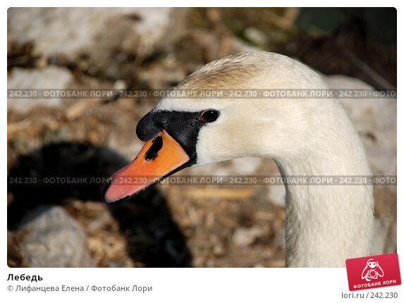 Лебедь, фото № 242230, снято 27 марта 2008 г. (c) Лифанцева Елена / Фотобанк Лори