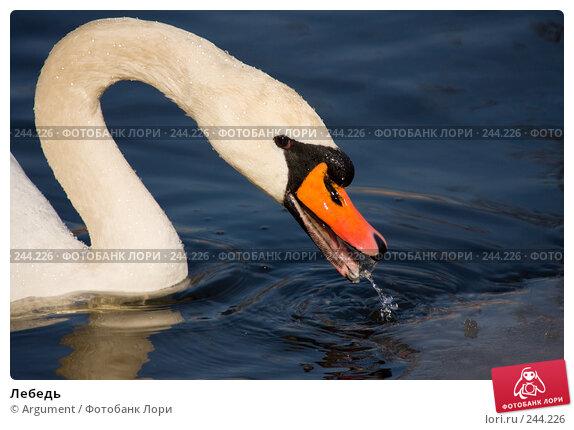 Купить «Лебедь», фото № 244226, снято 5 апреля 2008 г. (c) Argument / Фотобанк Лори