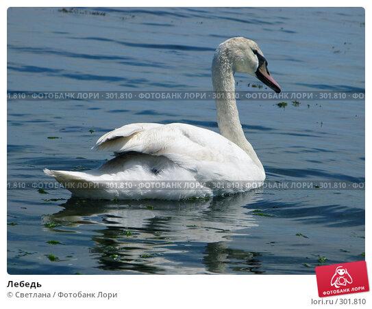 Лебедь, фото № 301810, снято 1 мая 2008 г. (c) Светлана / Фотобанк Лори