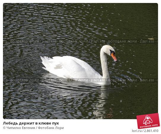 Лебедь держит в клюве пух. Стоковое фото, фотограф Чипилко Евгения / Фотобанк Лори