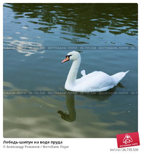 Купить «Лебедь-шипун на воде пруда», фото № 26735530, снято 12 июля 2017 г. (c) Александр Романов / Фотобанк Лори
