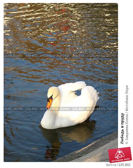 Лебедь в пруду, фото № 235802, снято 22 октября 2016 г. (c) Завриева Елена / Фотобанк Лори
