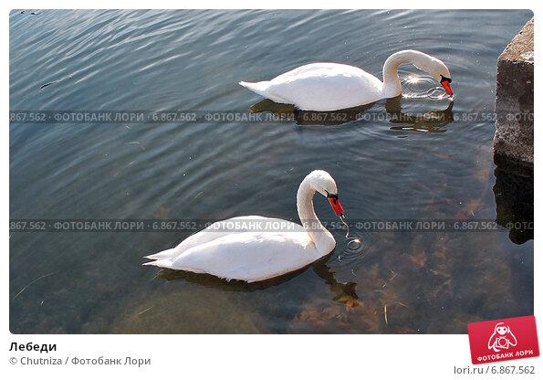 Лебеди. Стоковое фото, фотограф Chutniza / Фотобанк Лори