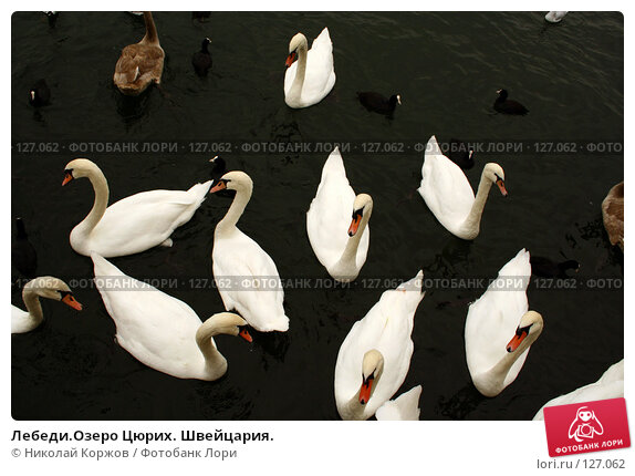 Лебеди.Озеро Цюрих. Швейцария., фото № 127062, снято 15 сентября 2006 г. (c) Николай Коржов / Фотобанк Лори