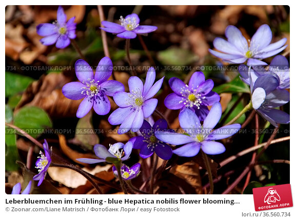 Leberbluemchen im Frühling - blue Hepatica nobilis flower blooming... Стоковое фото, фотограф Zoonar.com/Liane Matrisch / easy Fotostock / Фотобанк Лори