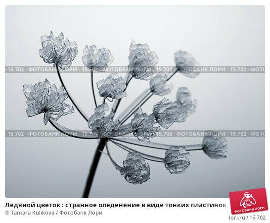 Ледяной цветок : странное оледенение в виде тонких пластинок, фото № 15702, снято 22 декабря 2006 г. (c) Tamara Kulikova / Фотобанк Лори