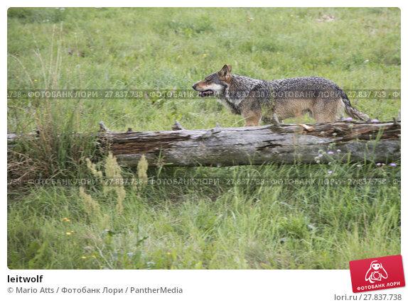 Купить «leitwolf», фото № 27837738, снято 19 октября 2018 г. (c) PantherMedia / Фотобанк Лори