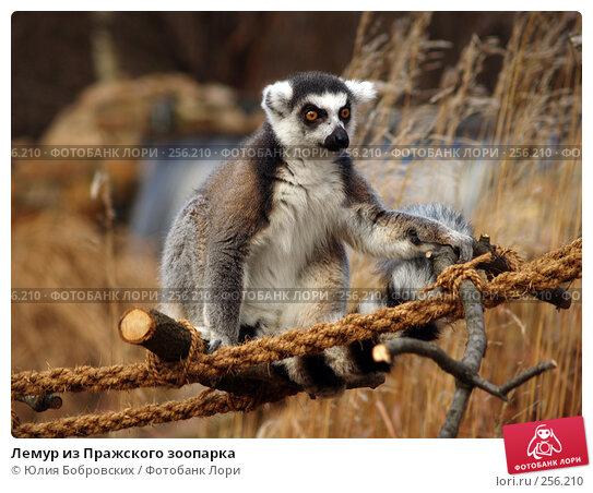 Лемур из Пражского зоопарка, фото № 256210, снято 20 января 2008 г. (c) Юлия Бобровских / Фотобанк Лори