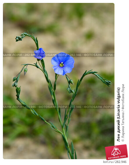 Лен дикий (Linaria vulgaris), фото № 282946, снято 6 мая 2008 г. (c) Ларина Татьяна / Фотобанк Лори