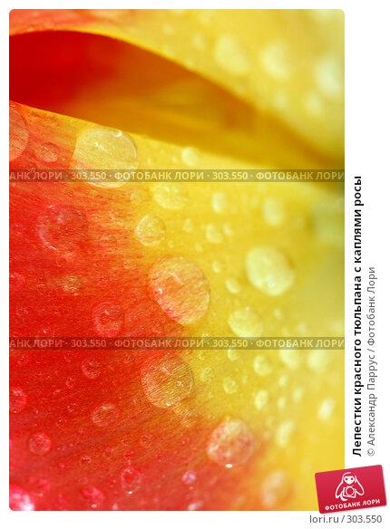 Лепестки красного тюльпана с каплями росы, фото № 303550, снято 21 апреля 2008 г. (c) Александр Паррус / Фотобанк Лори