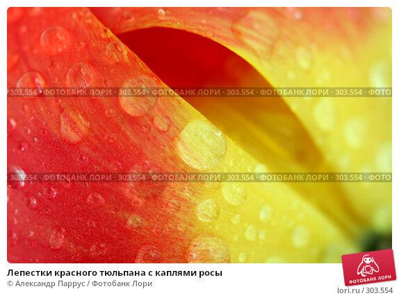 Лепестки красного тюльпана с каплями росы, фото № 303554, снято 21 апреля 2008 г. (c) Александр Паррус / Фотобанк Лори