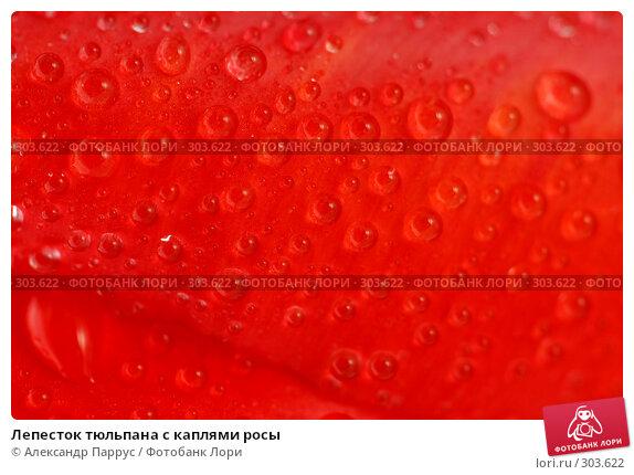 Лепесток тюльпана с каплями росы, фото № 303622, снято 21 апреля 2008 г. (c) Александр Паррус / Фотобанк Лори