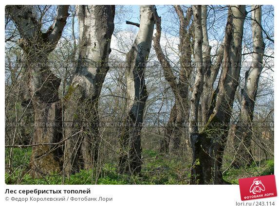 Лес серебристых тополей, фото № 243114, снято 4 апреля 2008 г. (c) Федор Королевский / Фотобанк Лори