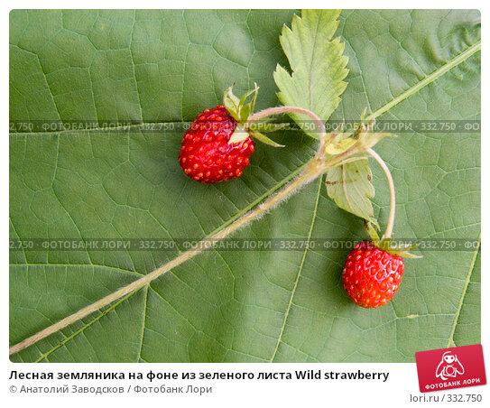 Лесная земляника на фоне из зеленого листа Wild strawberry, фото № 332750, снято 8 июля 2007 г. (c) Анатолий Заводсков / Фотобанк Лори
