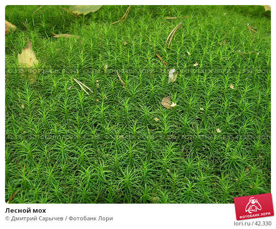 Лесной мох, фото № 42330, снято 16 сентября 2006 г. (c) Дмитрий Сарычев / Фотобанк Лори