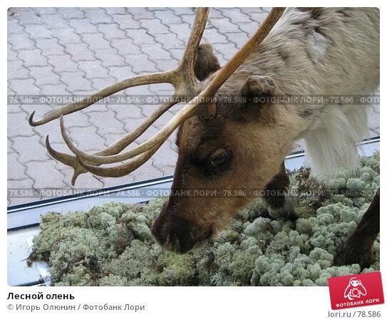 Лесной олень, фото № 78586, снято 1 октября 2005 г. (c) Игорь Олюнин / Фотобанк Лори